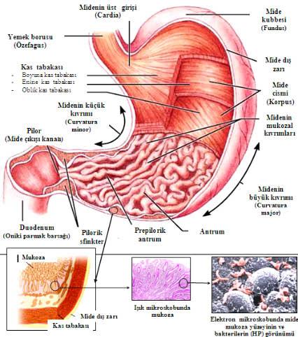 mide_anatomisi